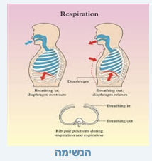 שרירי הנשימה בפילאטיס